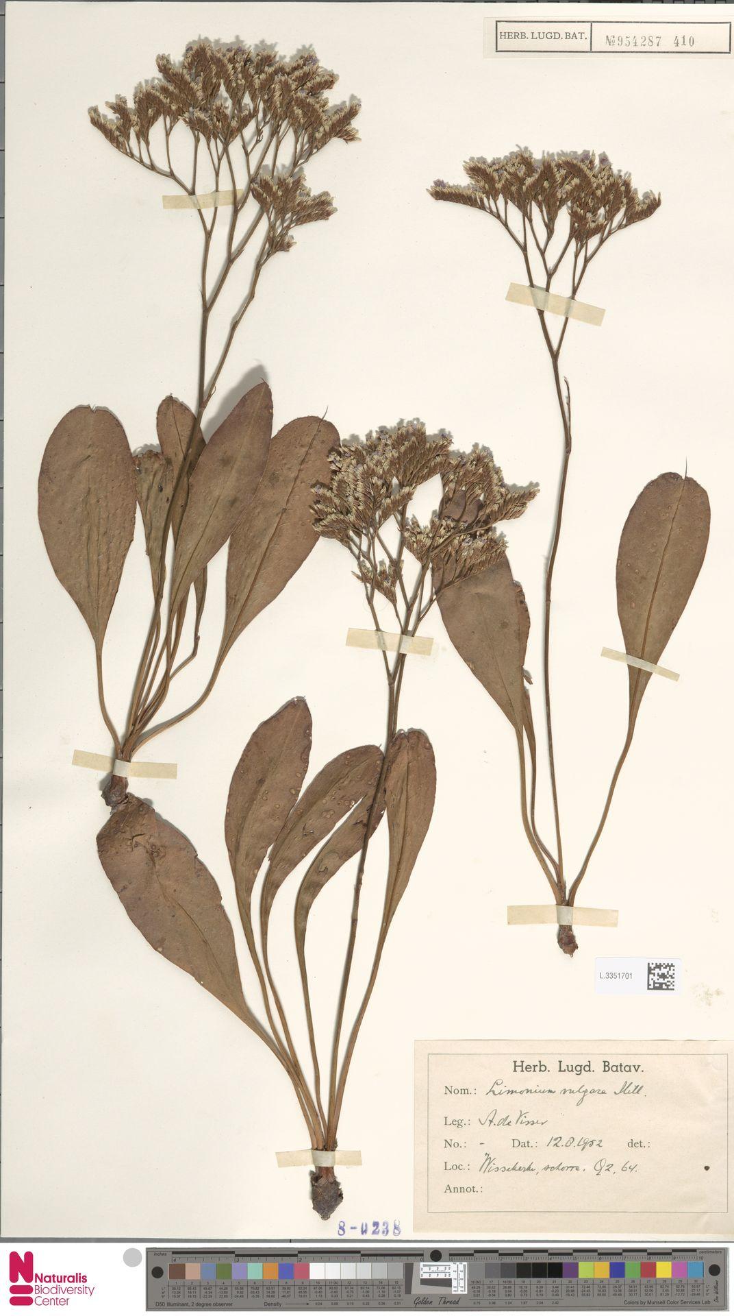 L.3351701 | Limonium vulgare Mill.