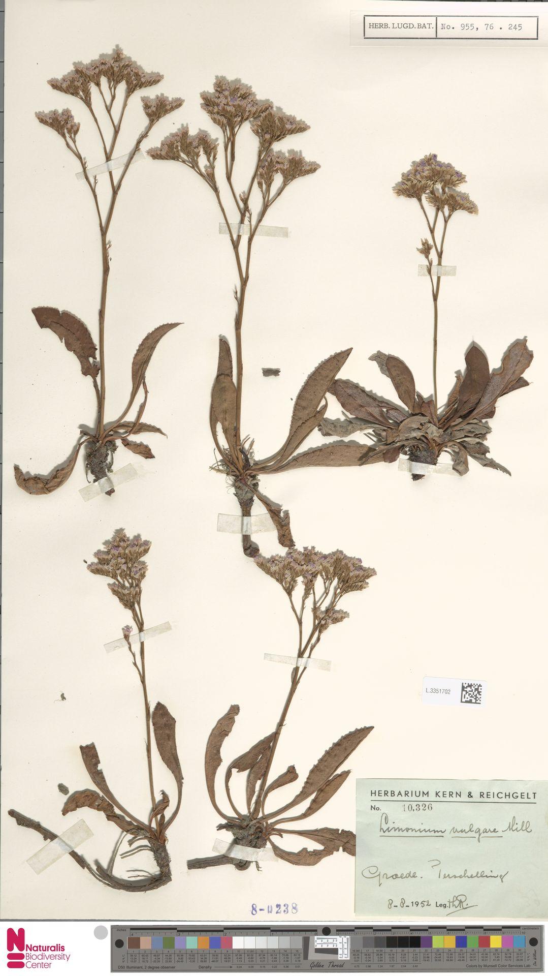 L.3351702 | Limonium vulgare Mill.