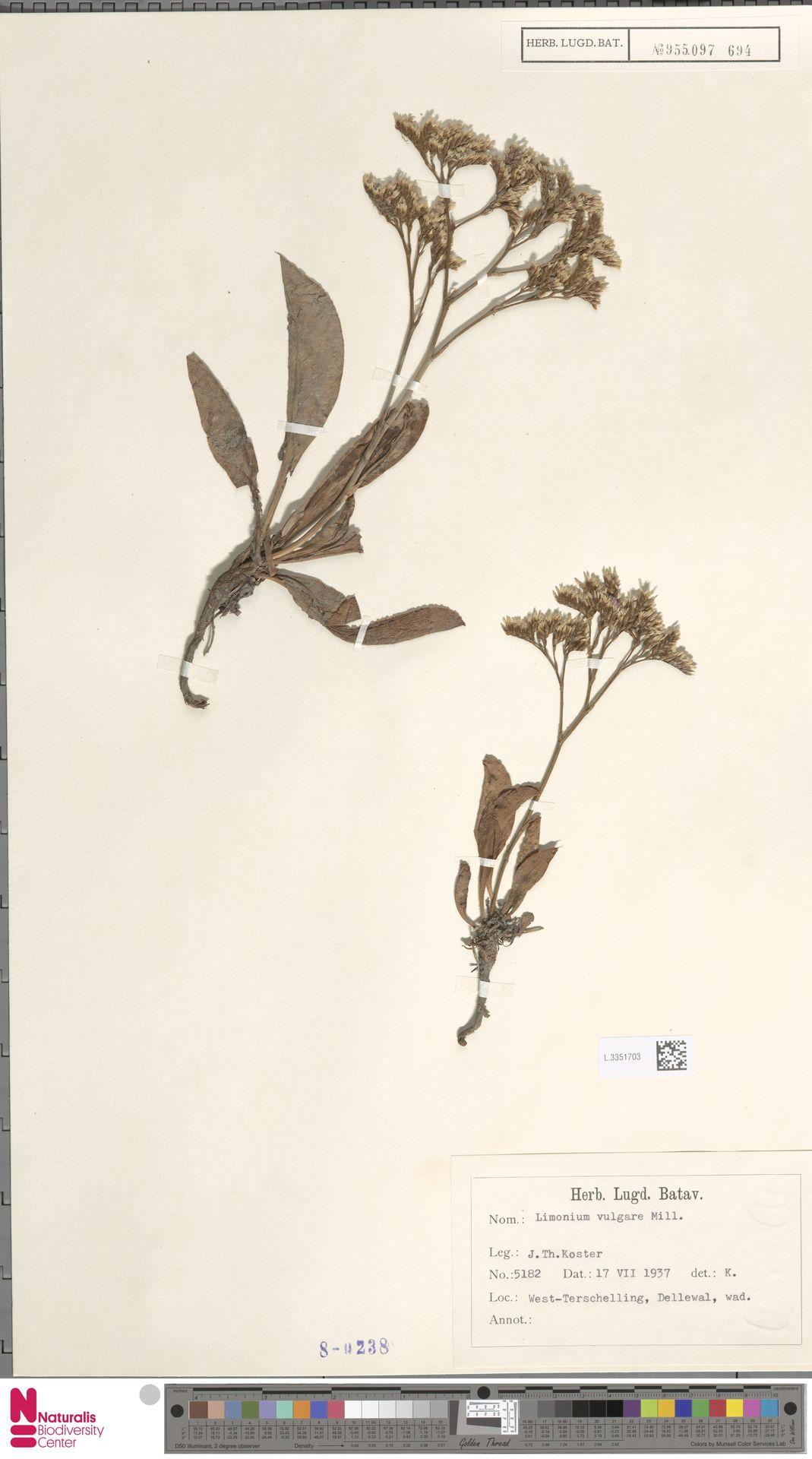 L.3351703 | Limonium vulgare Mill.
