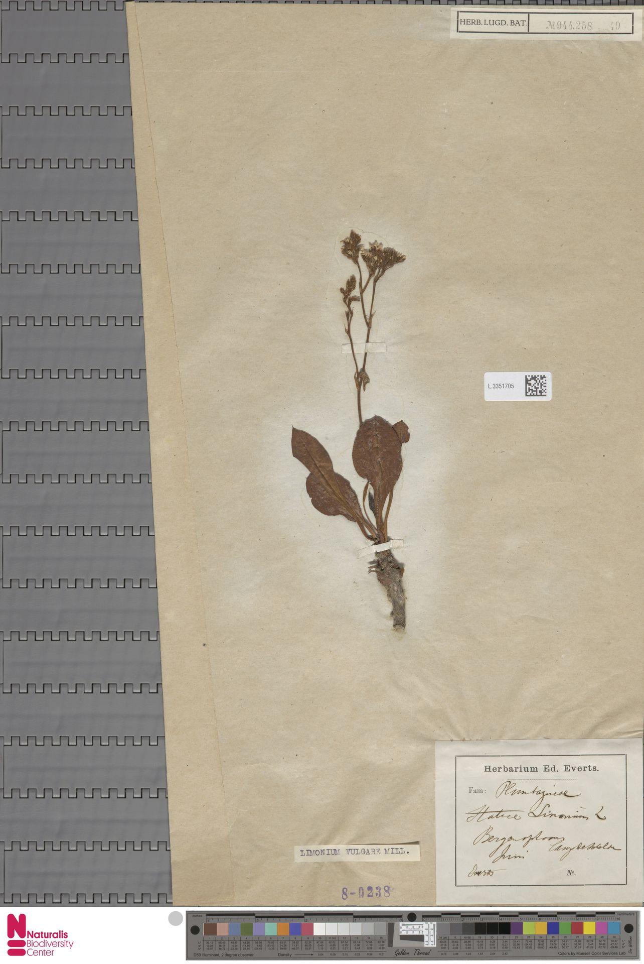 L.3351705 | Limonium vulgare Mill.