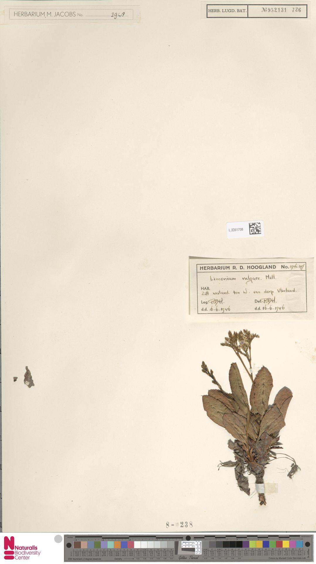 L.3351708 | Limonium vulgare Mill.