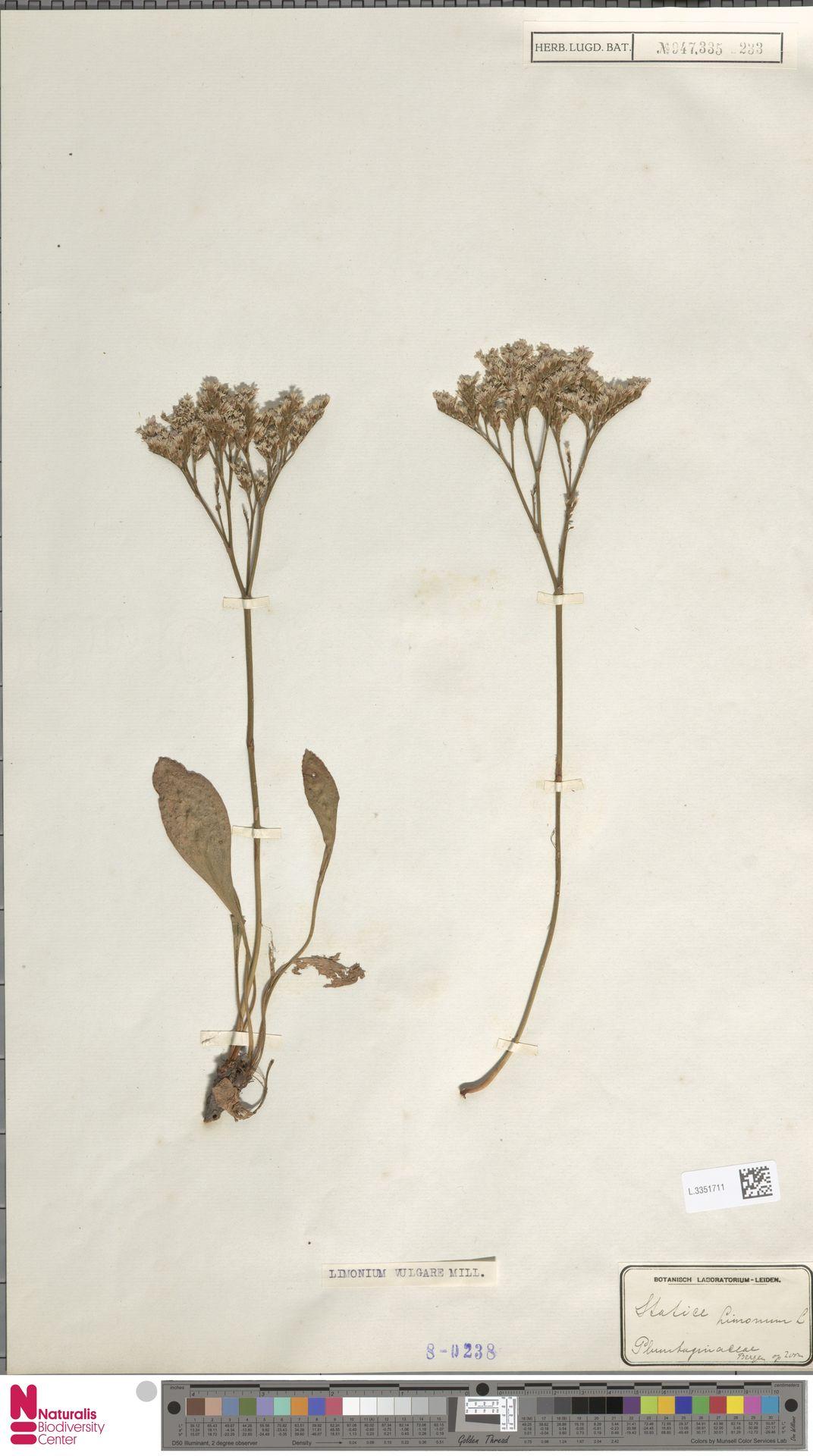 L.3351711 | Limonium vulgare Mill.