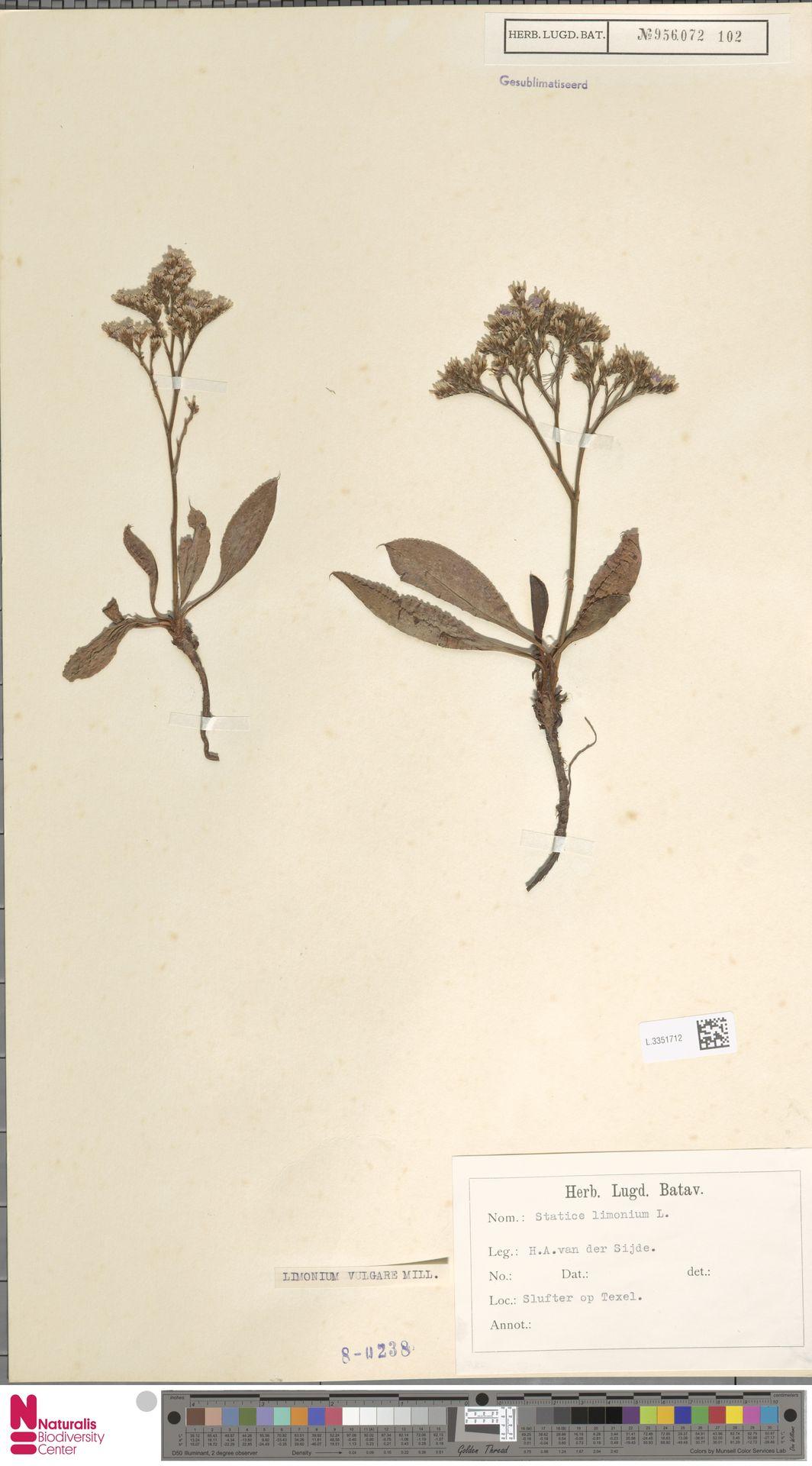 L.3351712 | Limonium vulgare Mill.