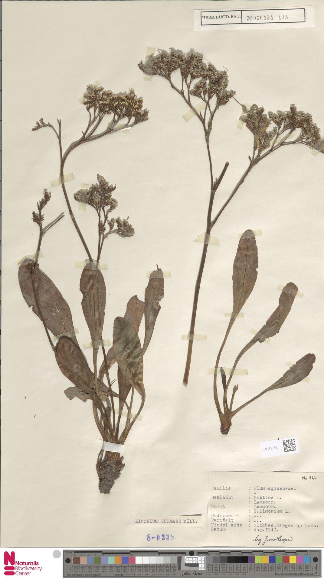 L.3351715 | Limonium vulgare Mill.