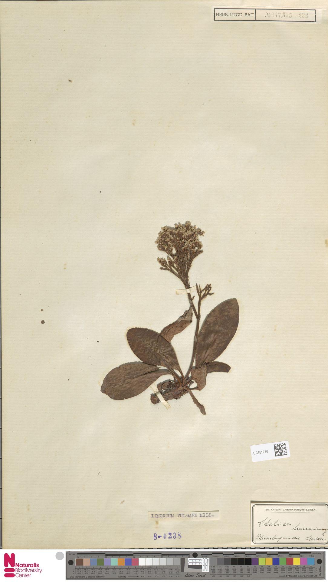 L.3351716 | Limonium vulgare Mill.