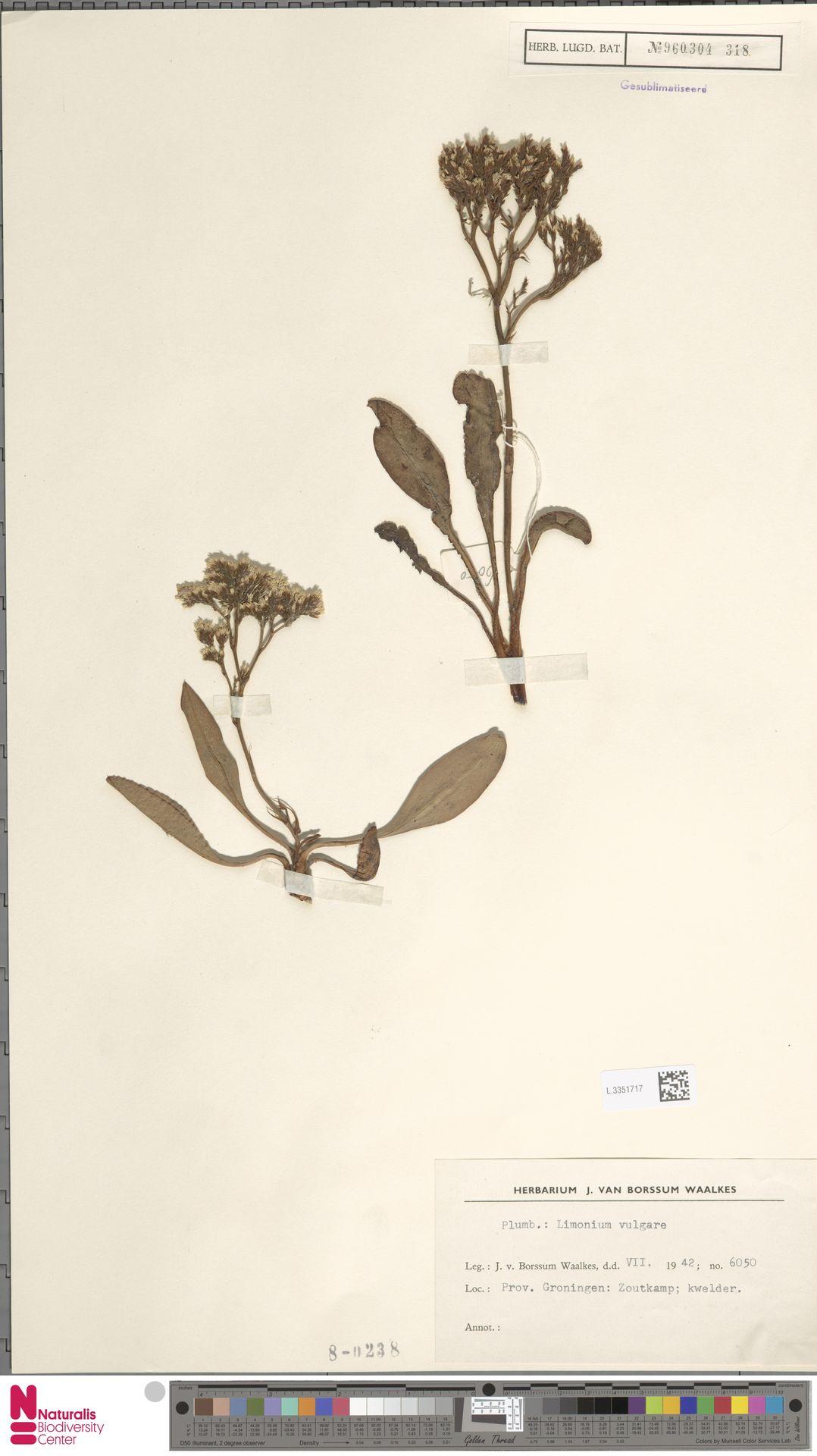 L.3351717 | Limonium vulgare Mill.