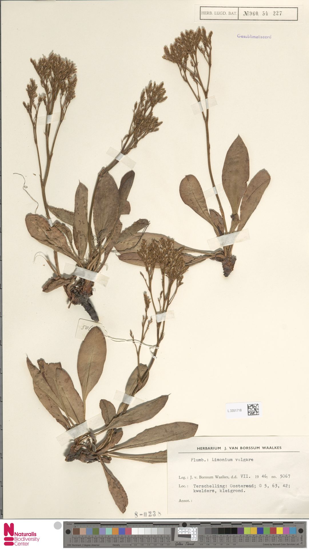 L.3351718 | Limonium vulgare Mill.
