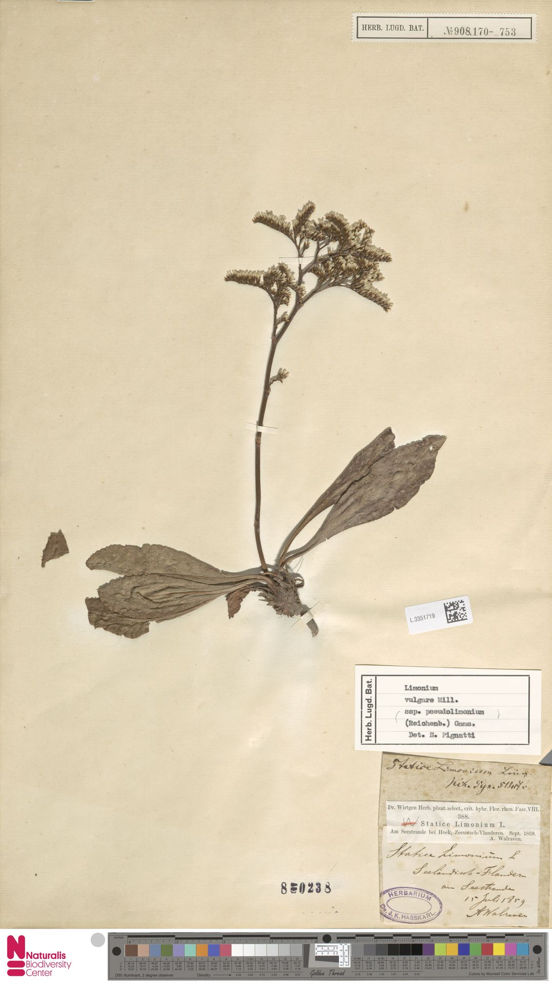 L.3351719   Limonium vulgare Mill.