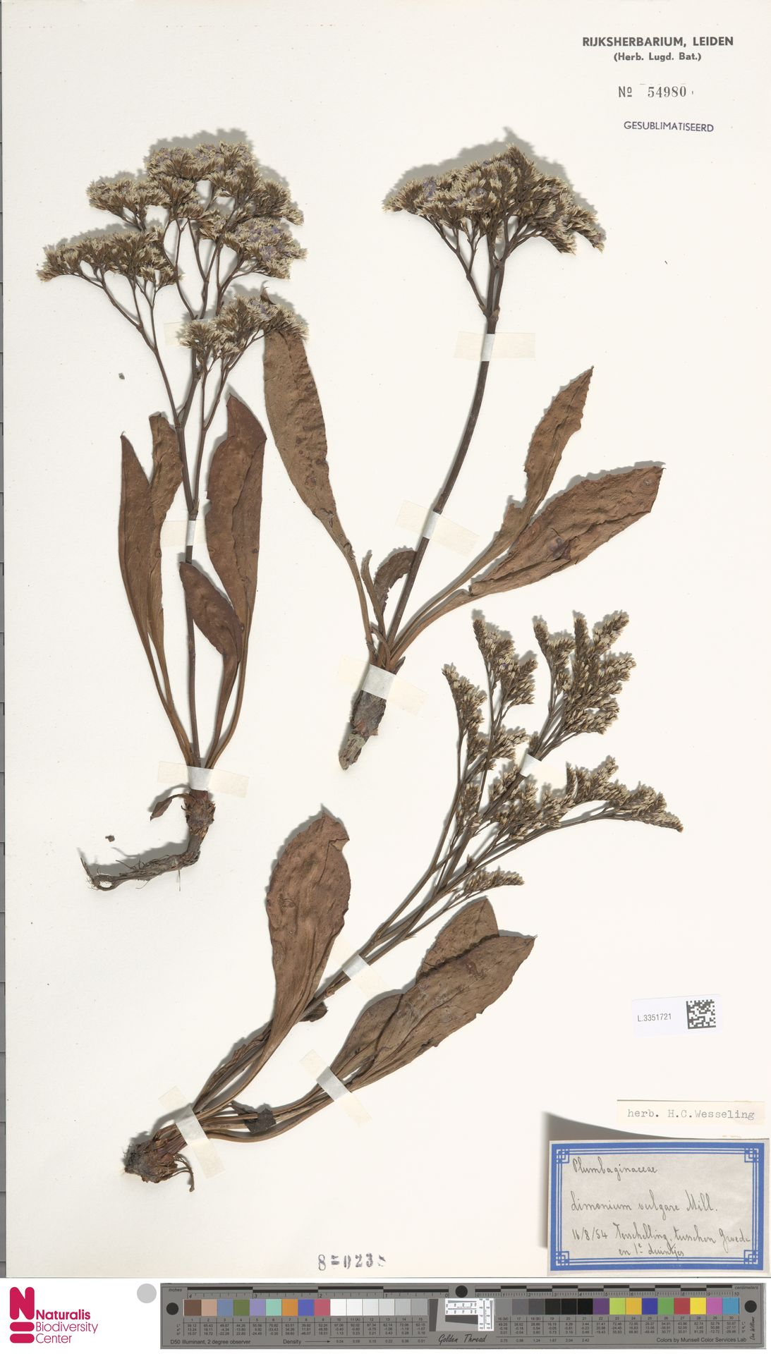 L.3351721 | Limonium vulgare Mill.