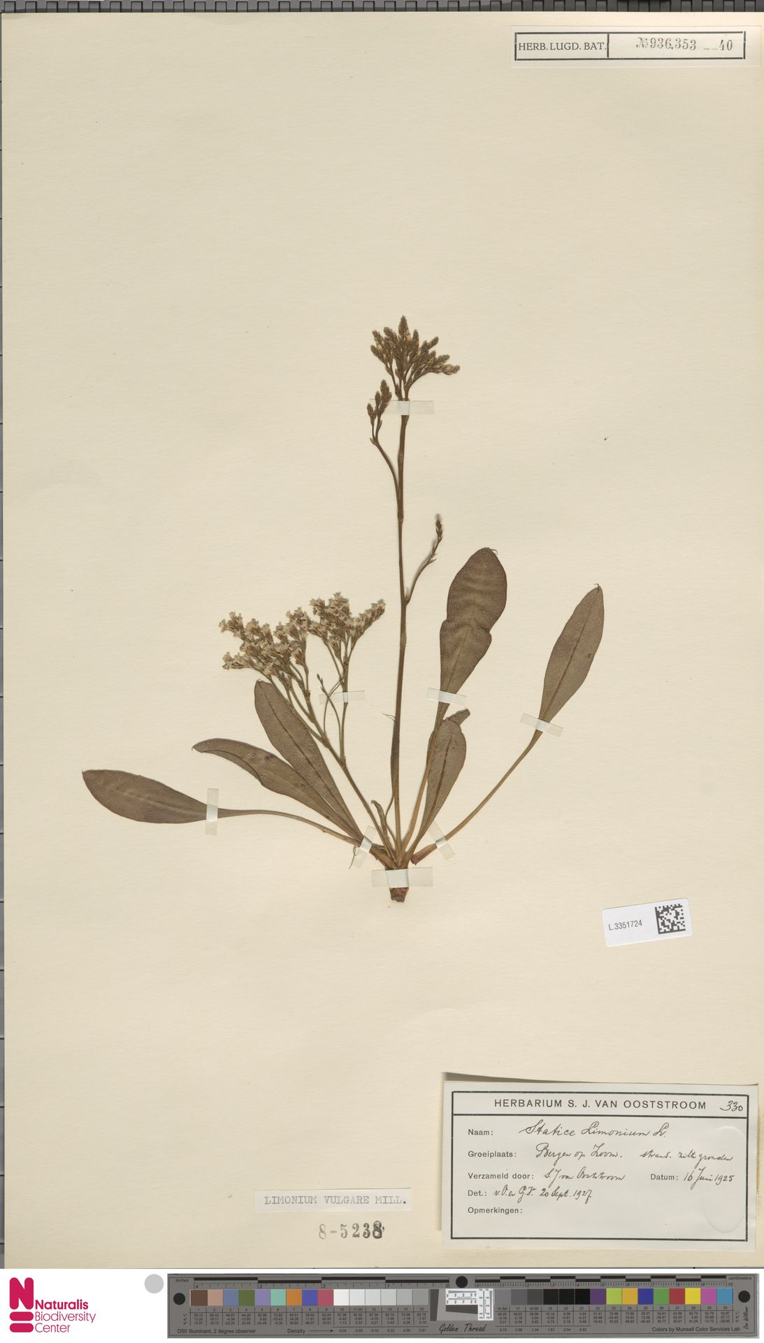 L.3351724 | Limonium vulgare Mill.