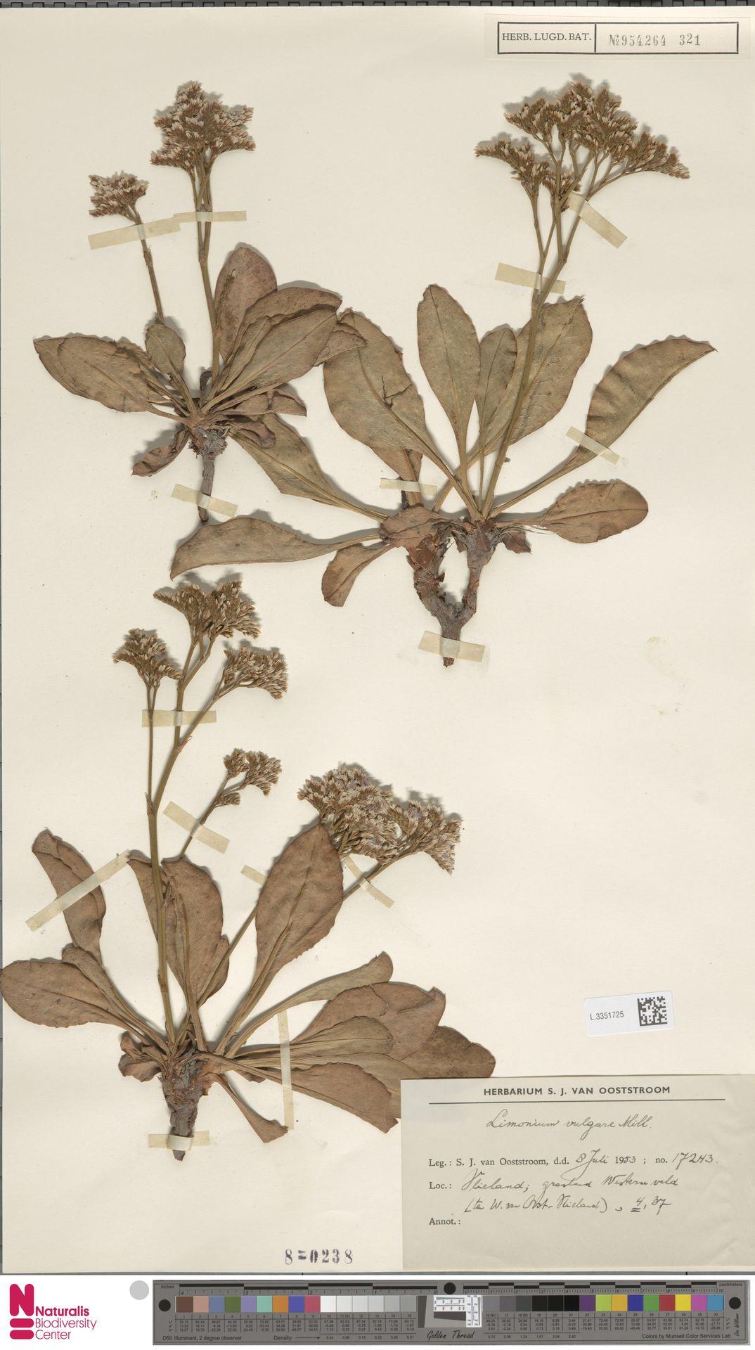 L.3351725 | Limonium vulgare Mill.