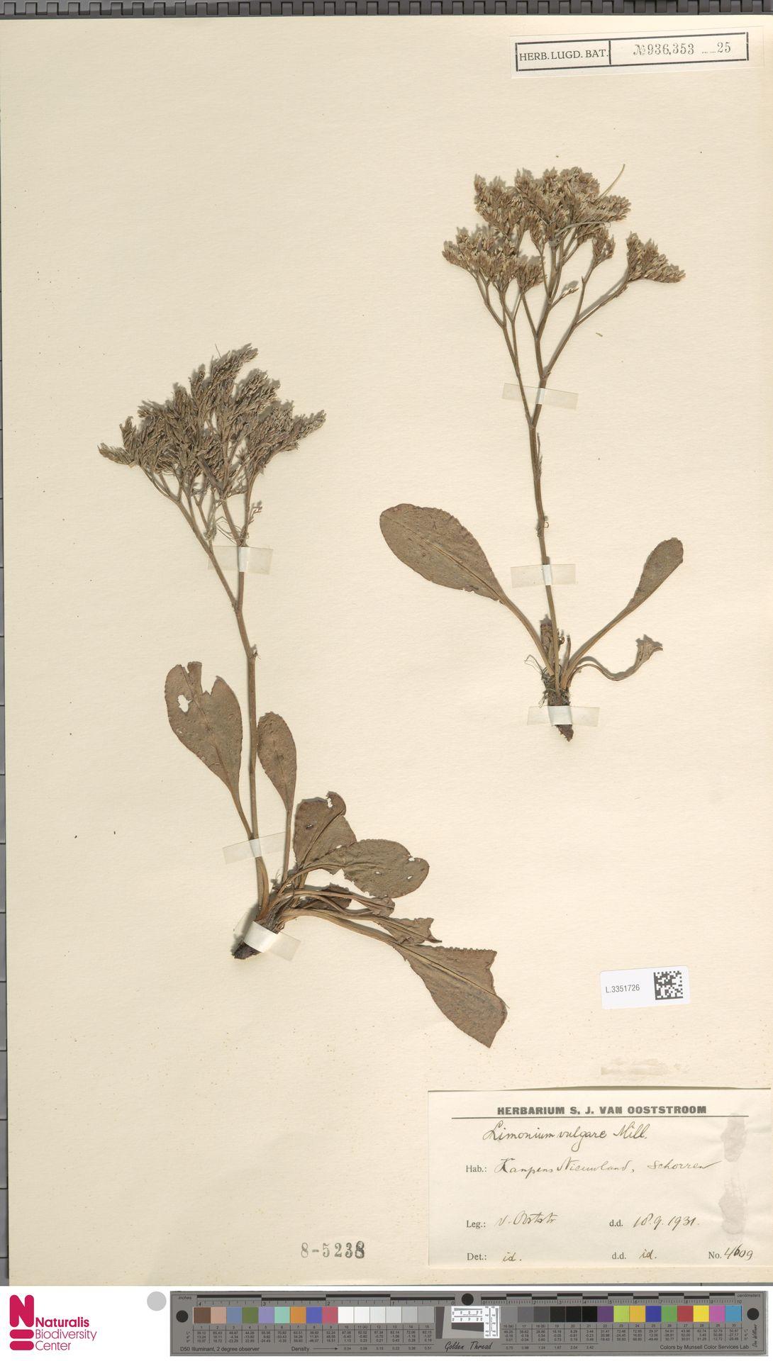 L.3351726 | Limonium vulgare Mill.