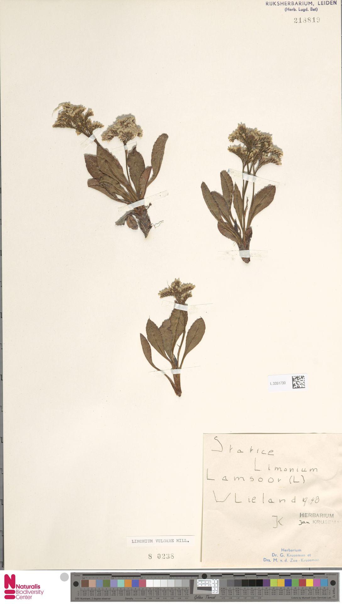 L.3351730 | Limonium vulgare Mill.