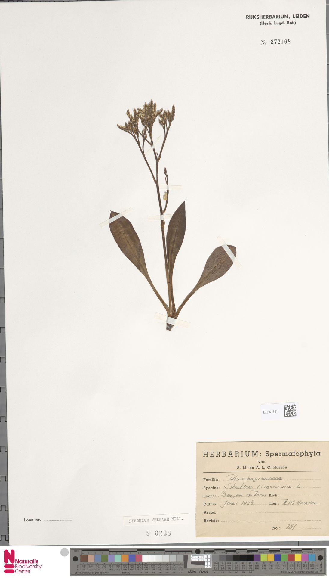 L.3351731 | Limonium vulgare Mill.