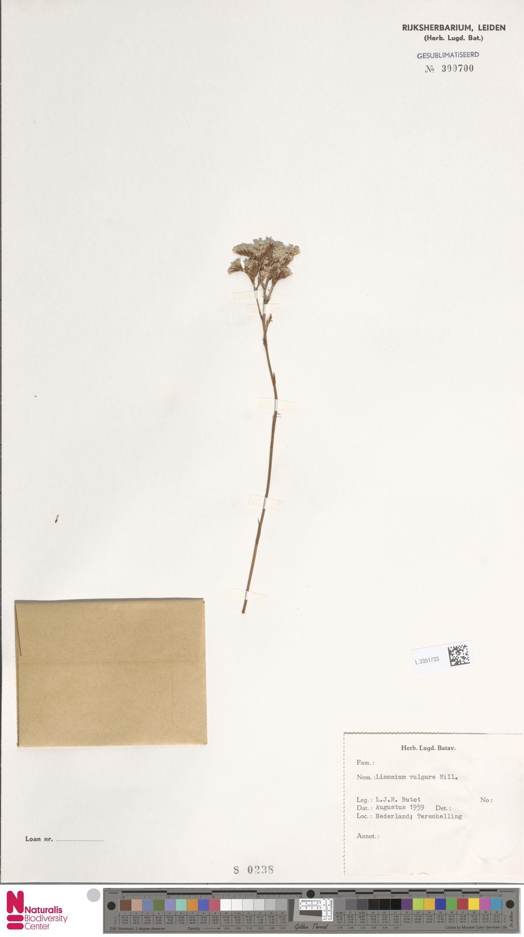 L.3351733 | Limonium vulgare Mill.
