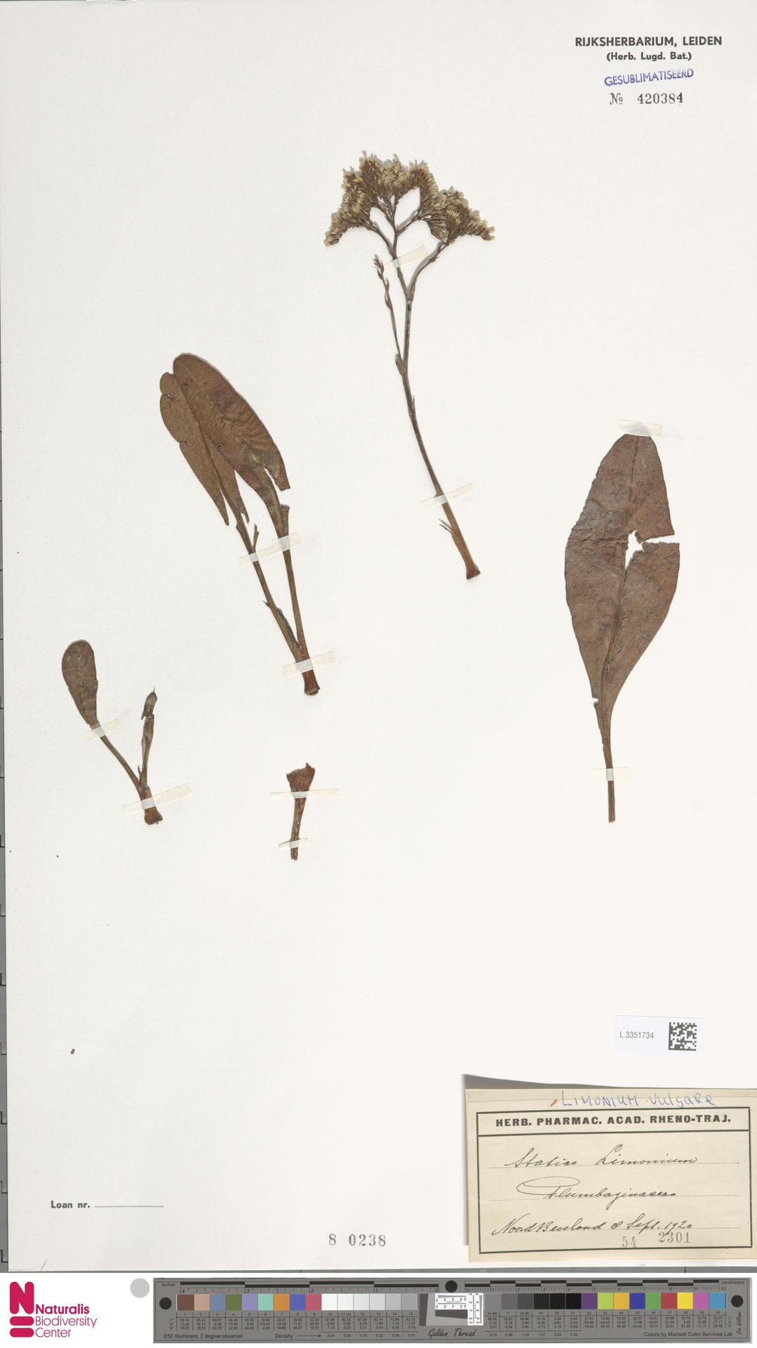 L.3351734 | Limonium vulgare Mill.