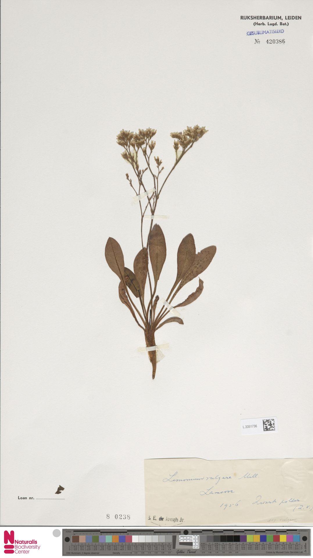 L.3351736 | Limonium vulgare Mill.
