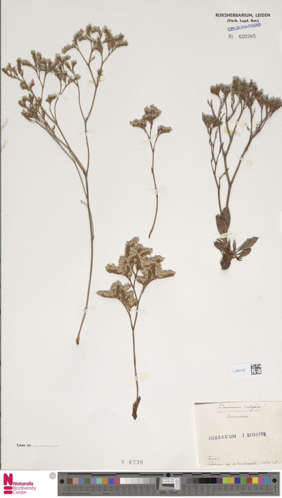 L.3351737 | Limonium vulgare Mill.