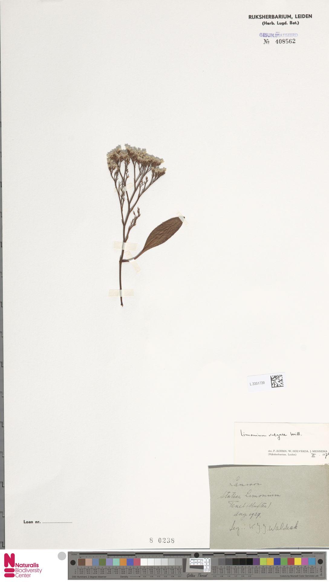 L.3351739 | Limonium vulgare Mill.