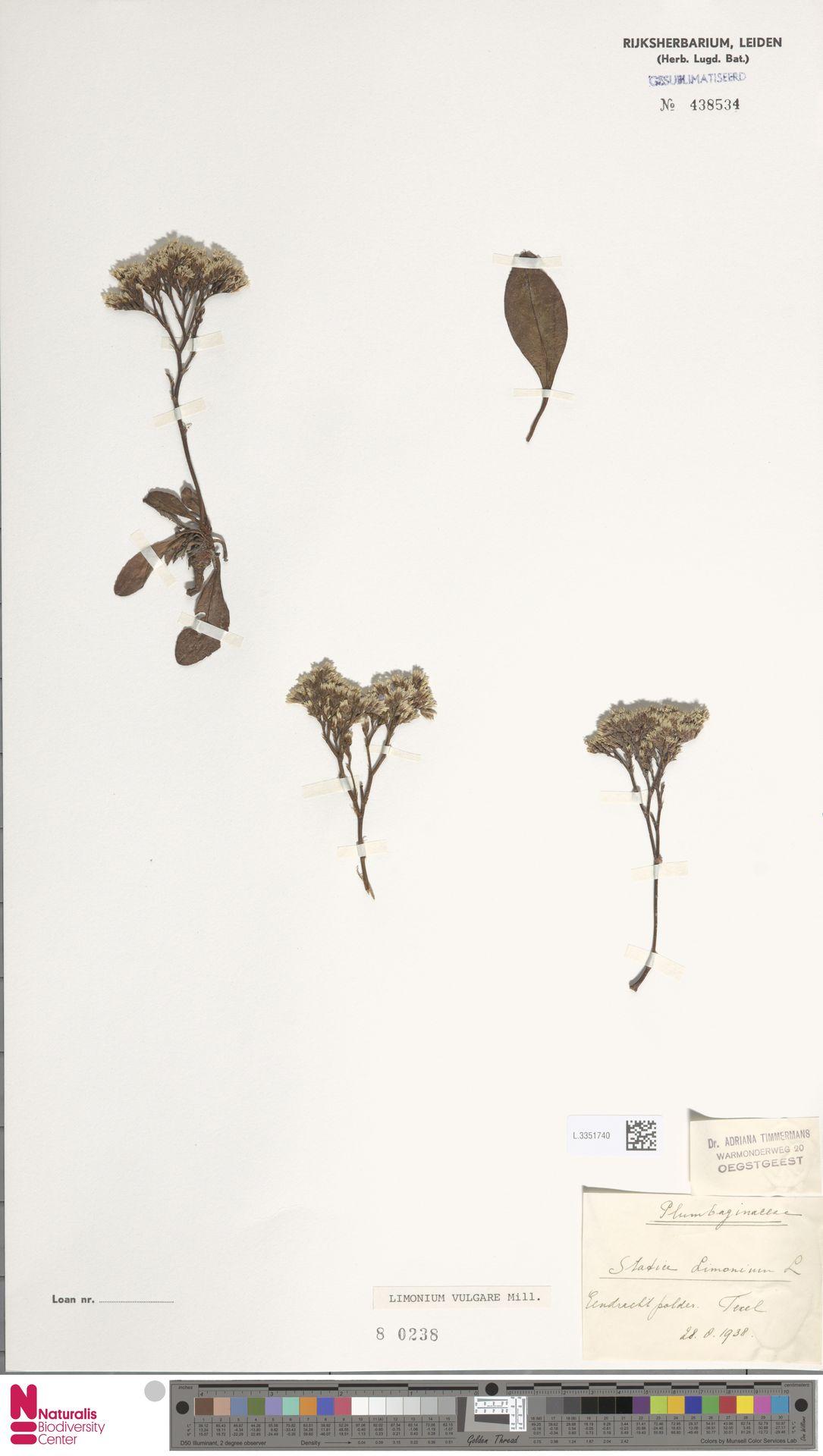 L.3351740 | Limonium vulgare Mill.