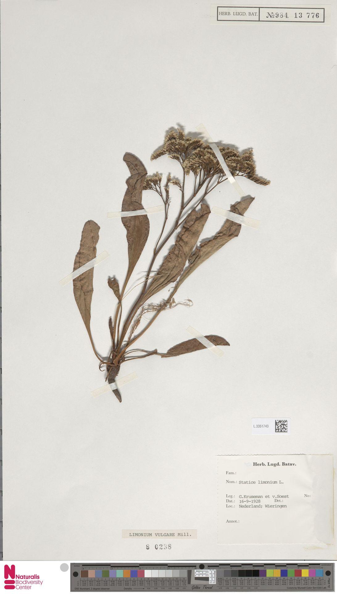 L.3351743 | Limonium vulgare Mill.