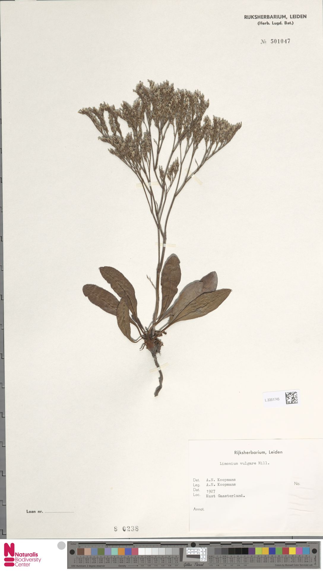 L.3351745   Limonium vulgare Mill.