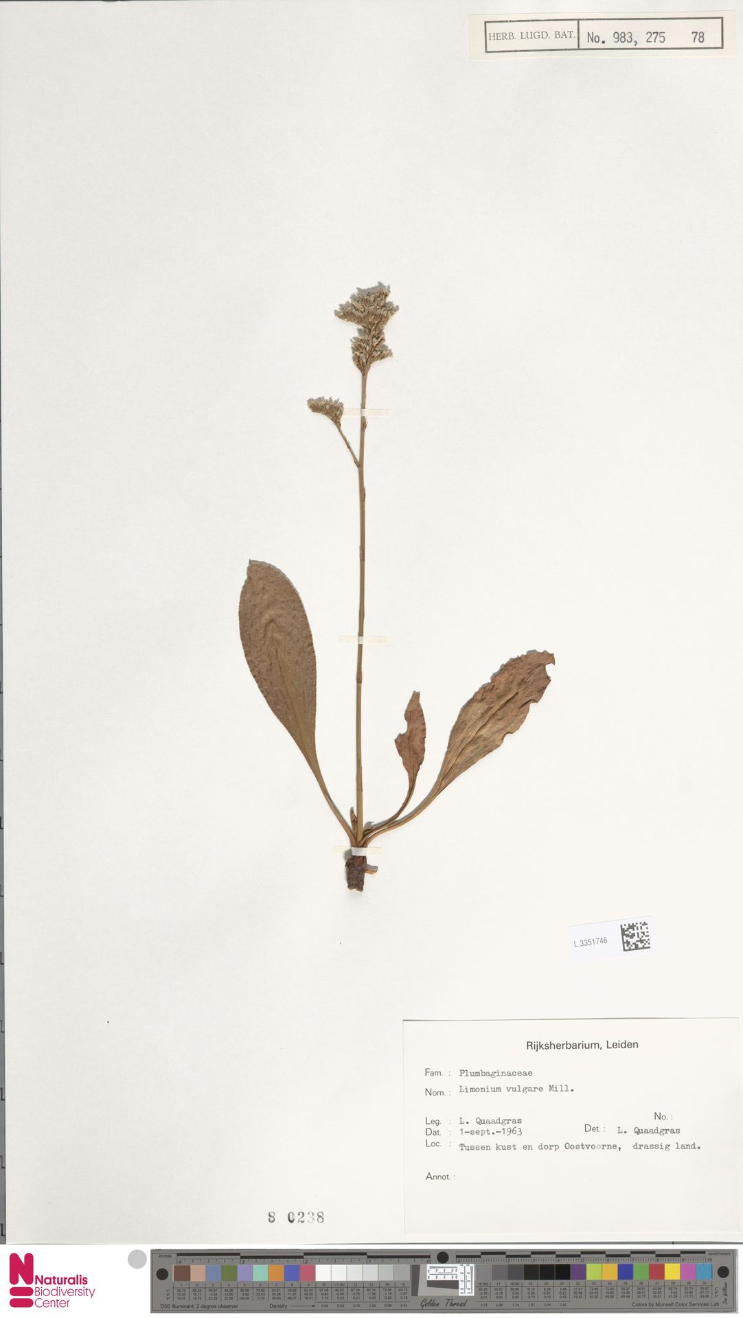 L.3351746 | Limonium vulgare Mill.