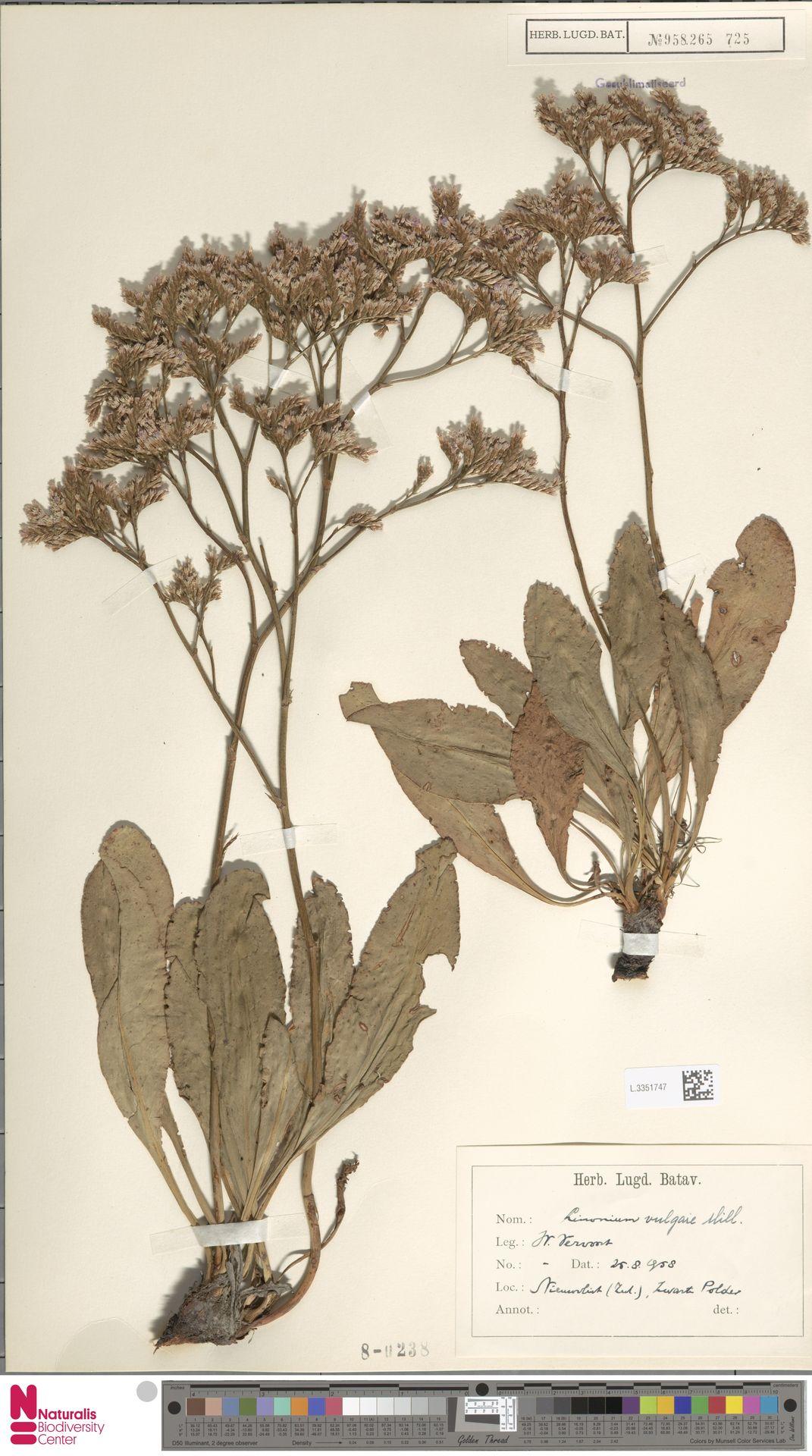 L.3351747 | Limonium vulgare Mill.