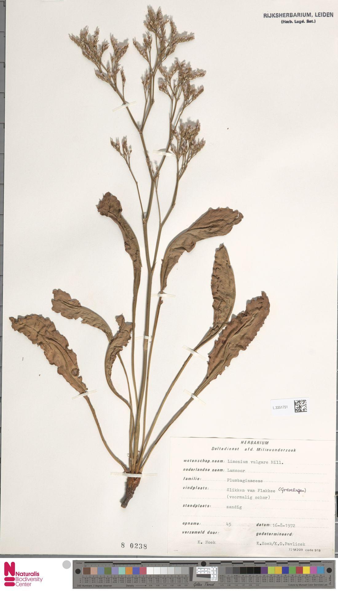L.3351751 | Limonium vulgare Mill.
