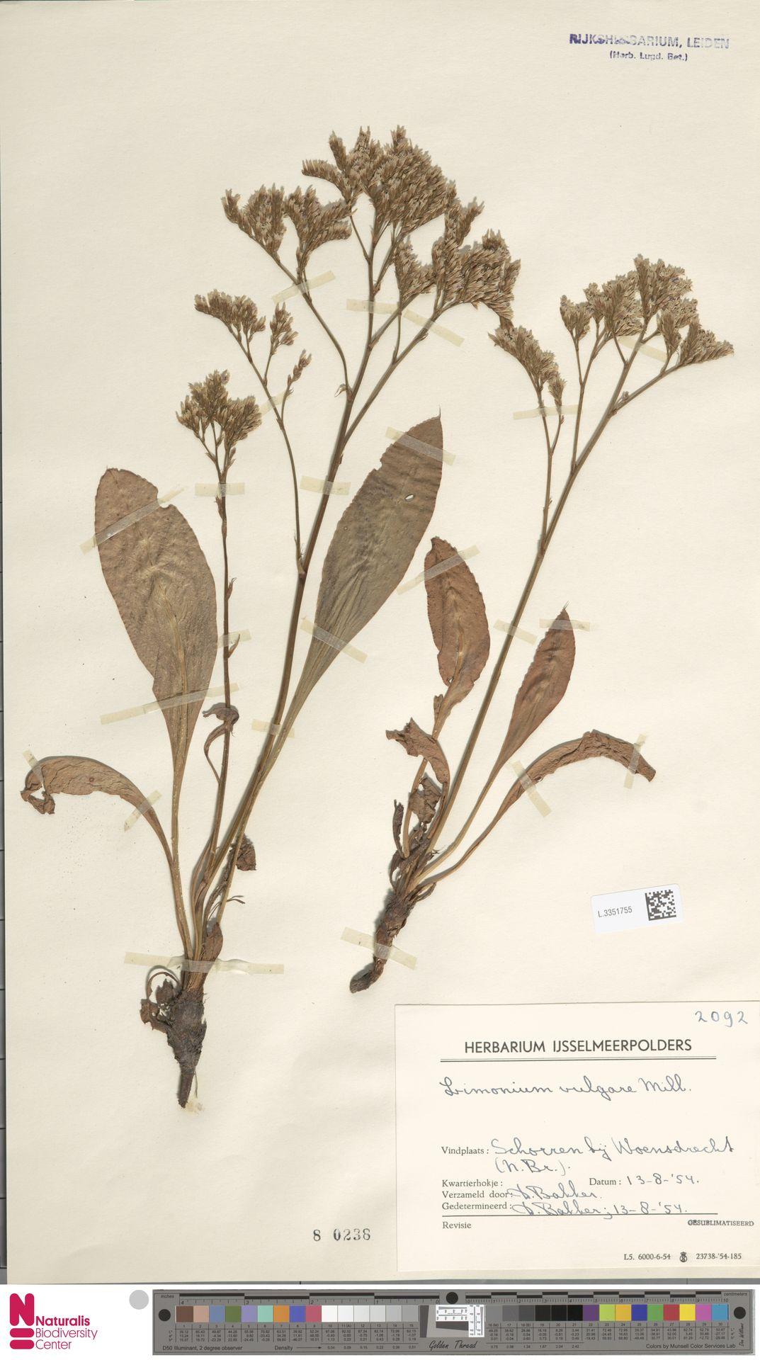L.3351755 | Limonium vulgare Mill.