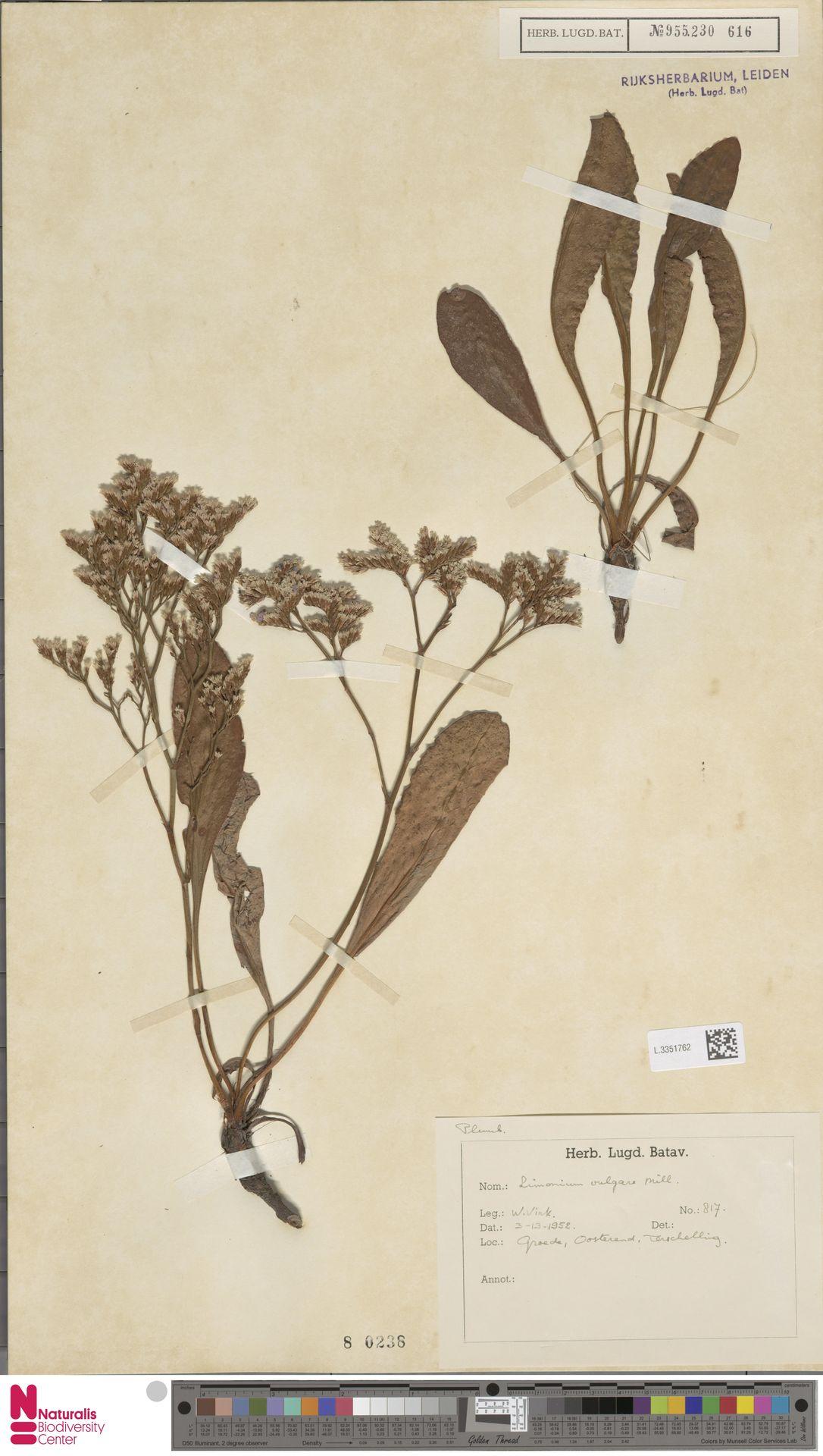 L.3351762 | Limonium vulgare Mill.