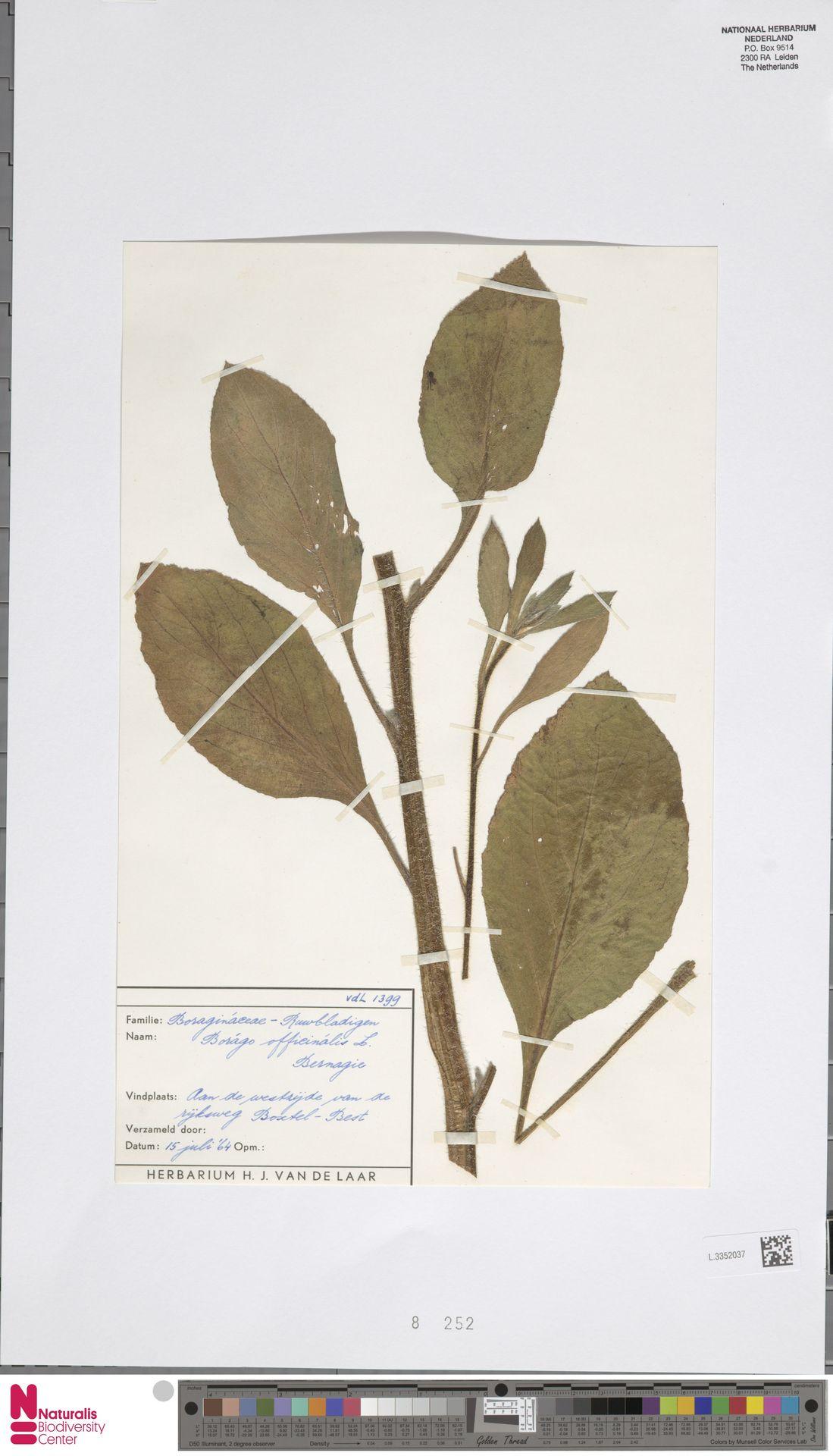 L.3352037 | Borago officinalis L.