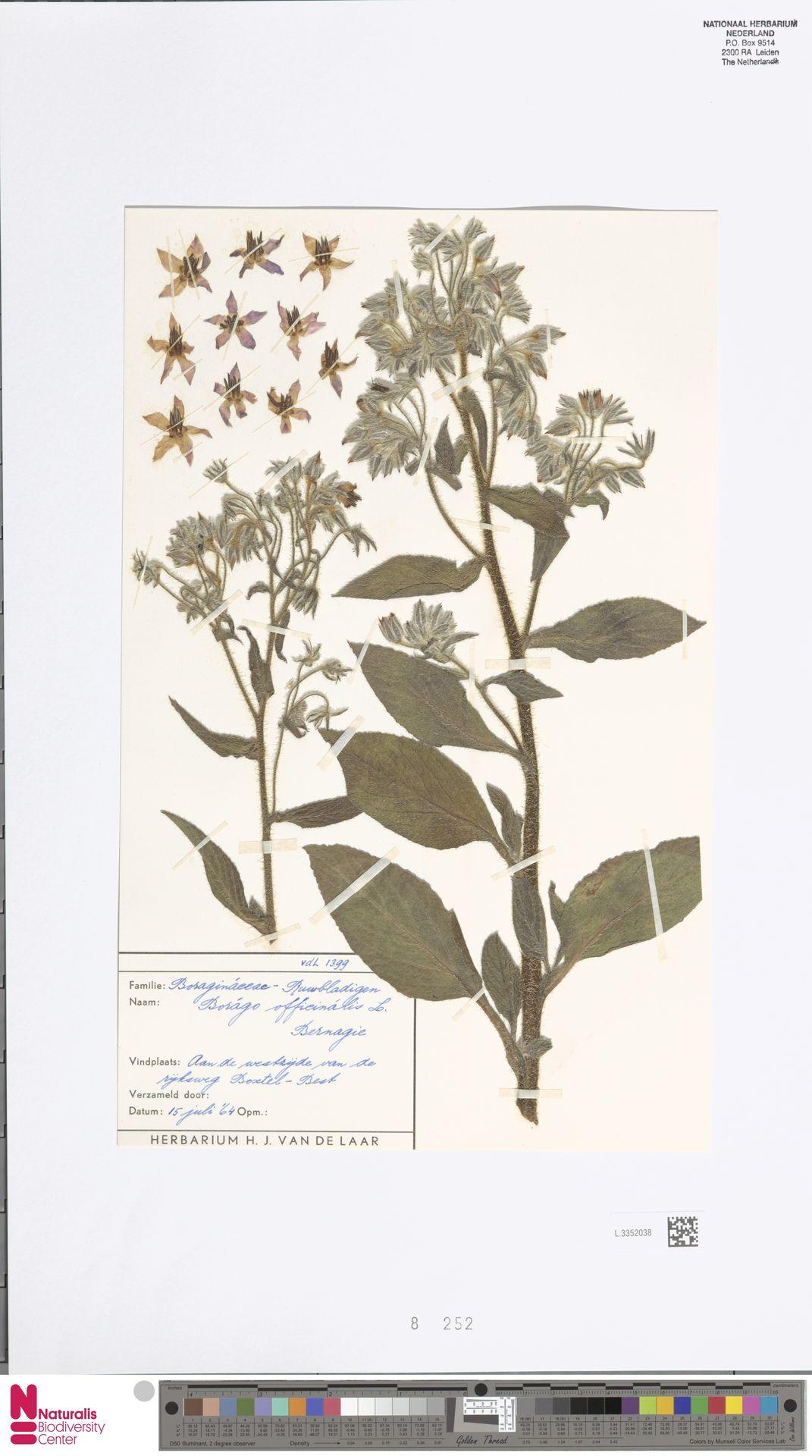 L.3352038 | Borago officinalis L.
