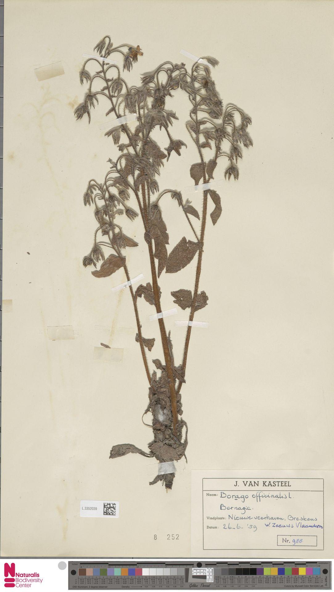 L.3352039 | Borago officinalis L.