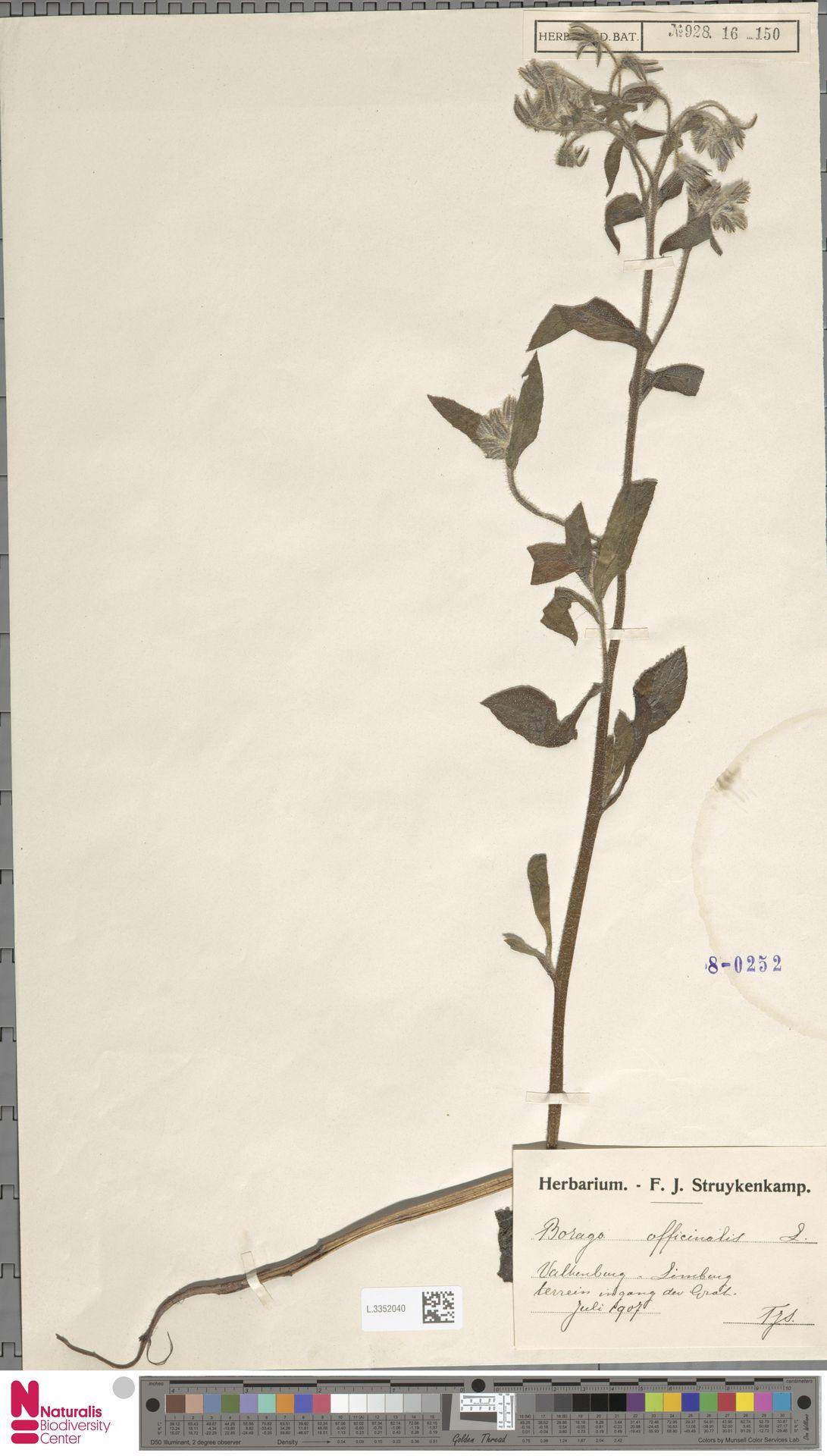 L.3352040   Borago officinalis L.