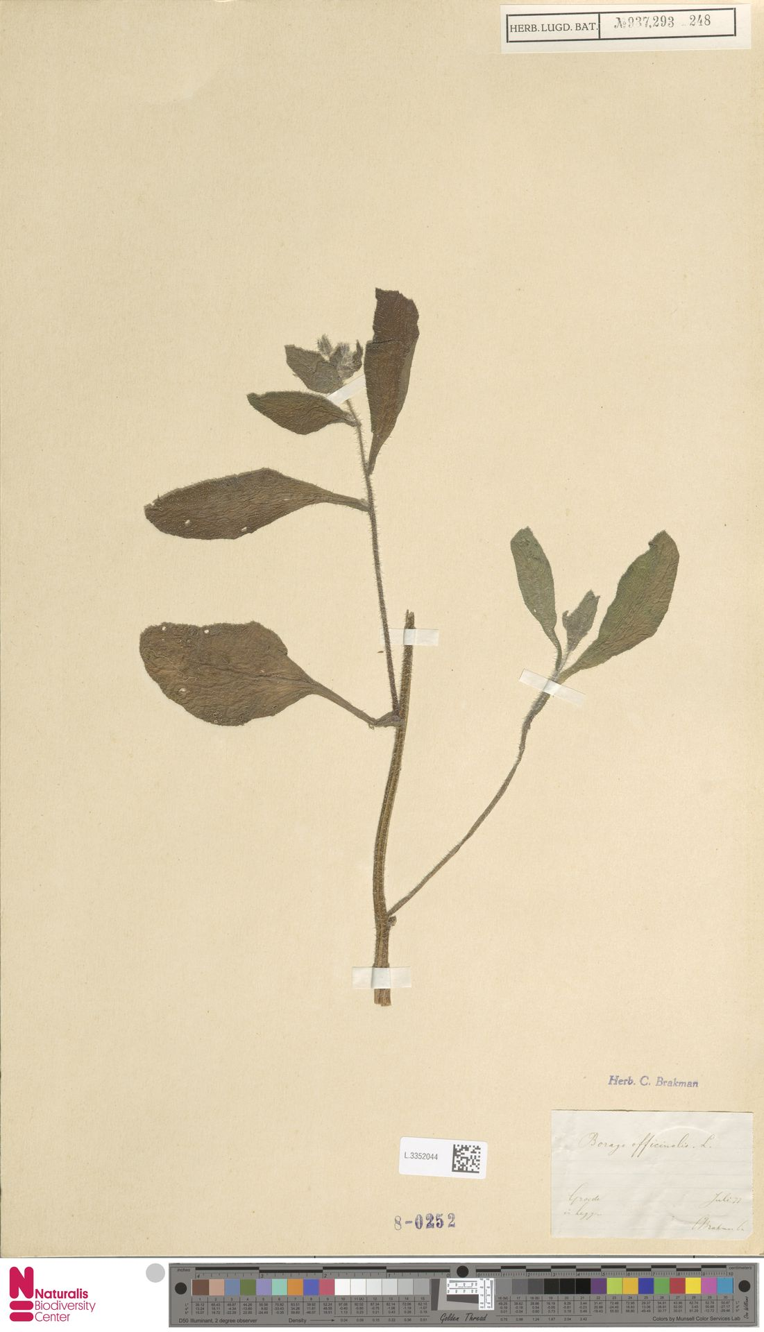 L.3352044 | Borago officinalis L.