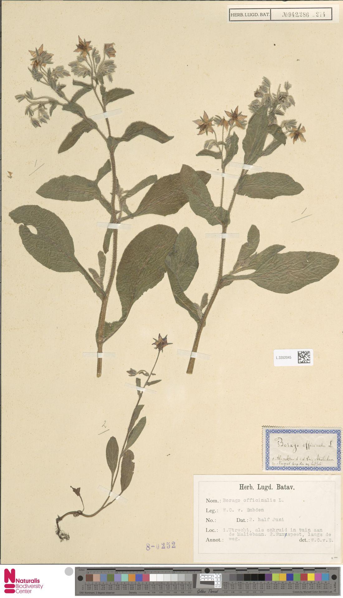 L.3352045 | Borago officinalis L.