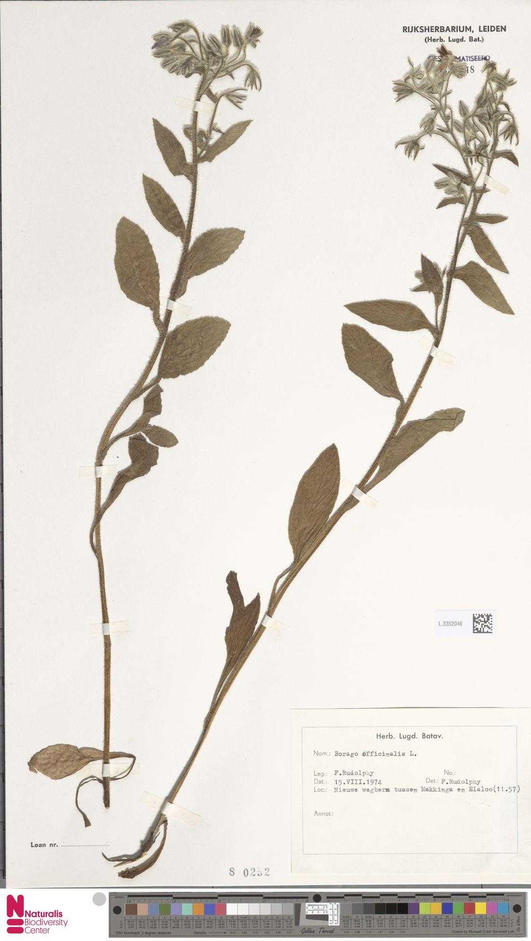 L.3352046   Borago officinalis L.