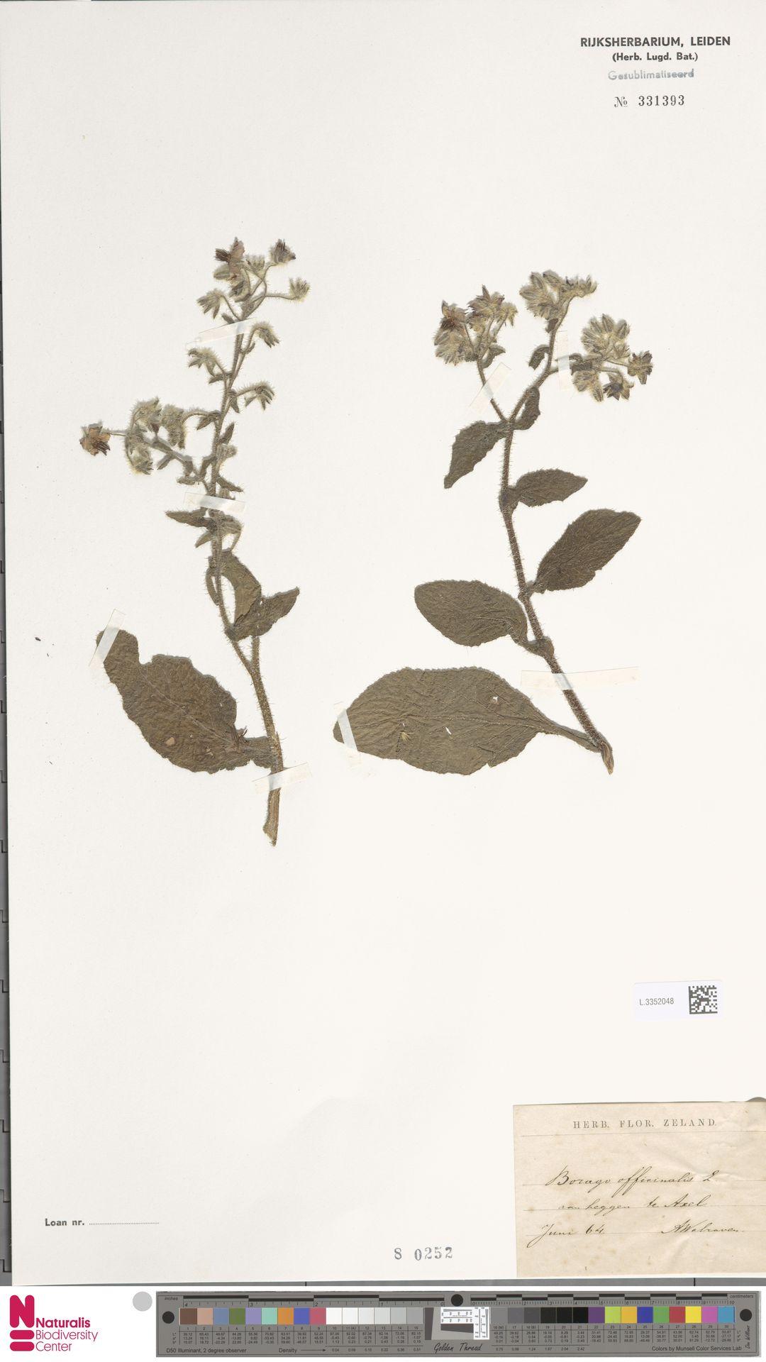 L.3352048 | Borago officinalis L.