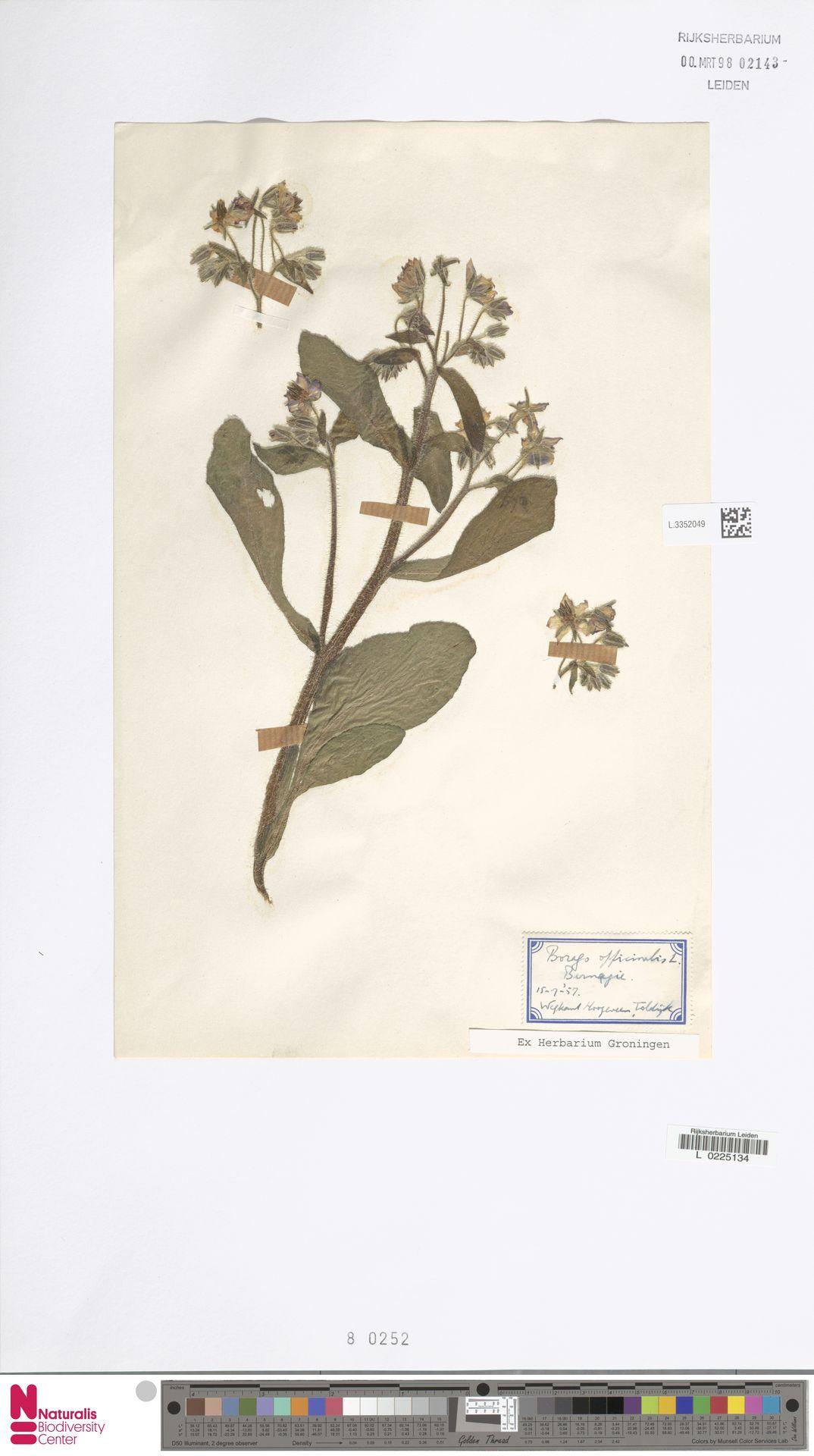 L.3352049 | Borago officinalis L.