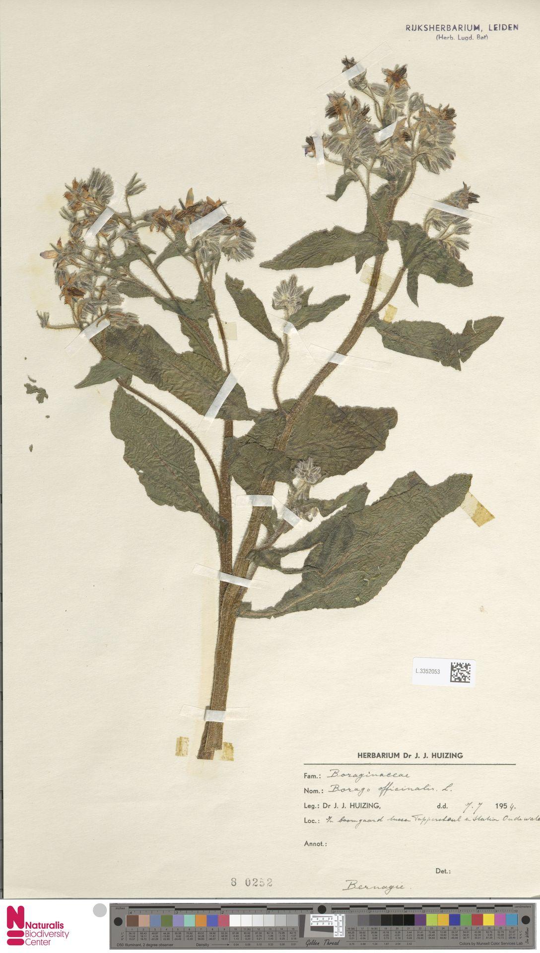 L.3352053 | Borago officinalis L.