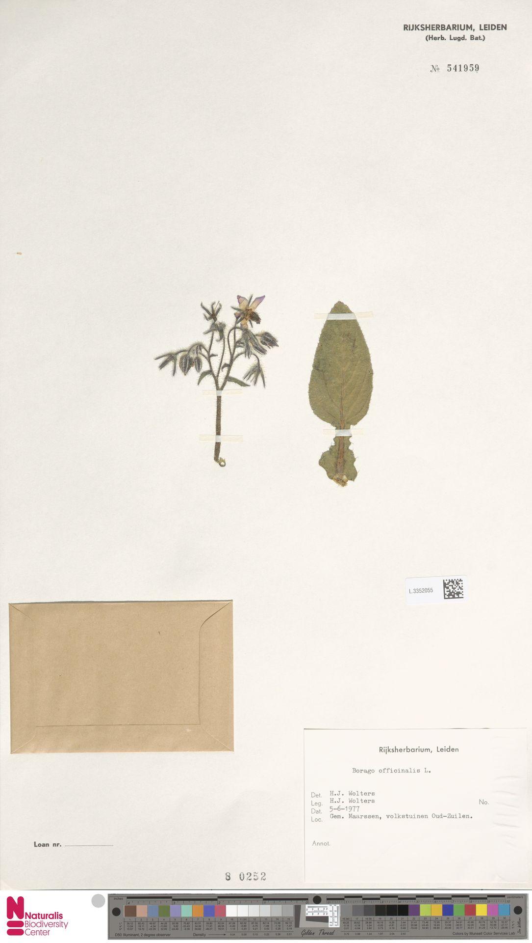 L.3352055   Borago officinalis L.