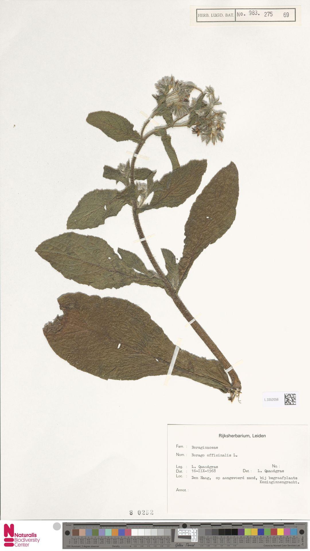 L.3352056 | Borago officinalis L.