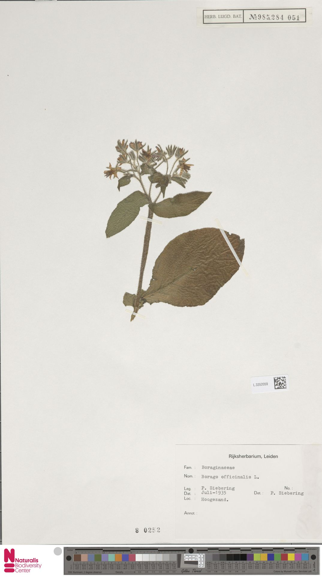 L.3352059 | Borago officinalis L.