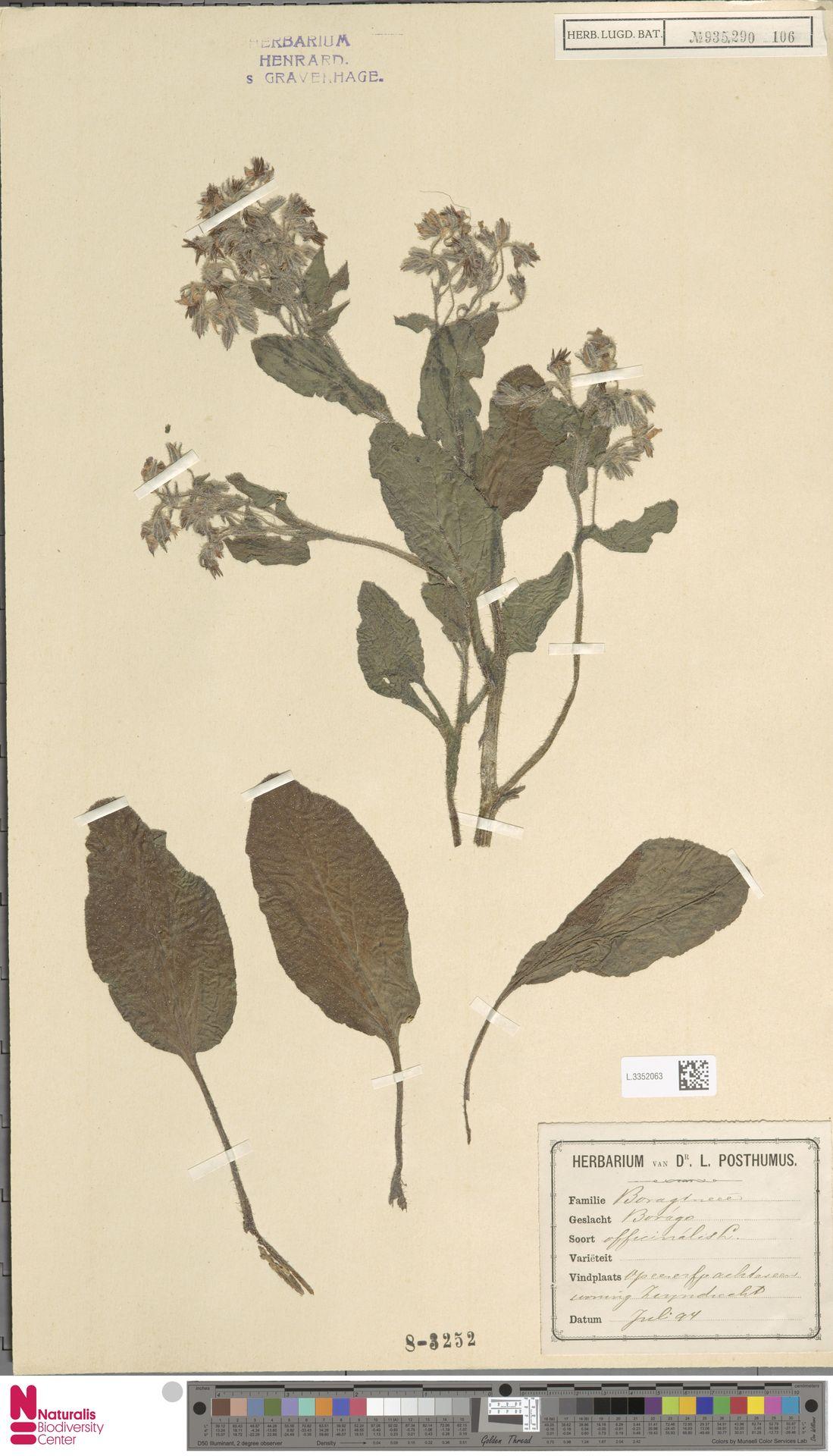 L.3352063 | Borago officinalis L.