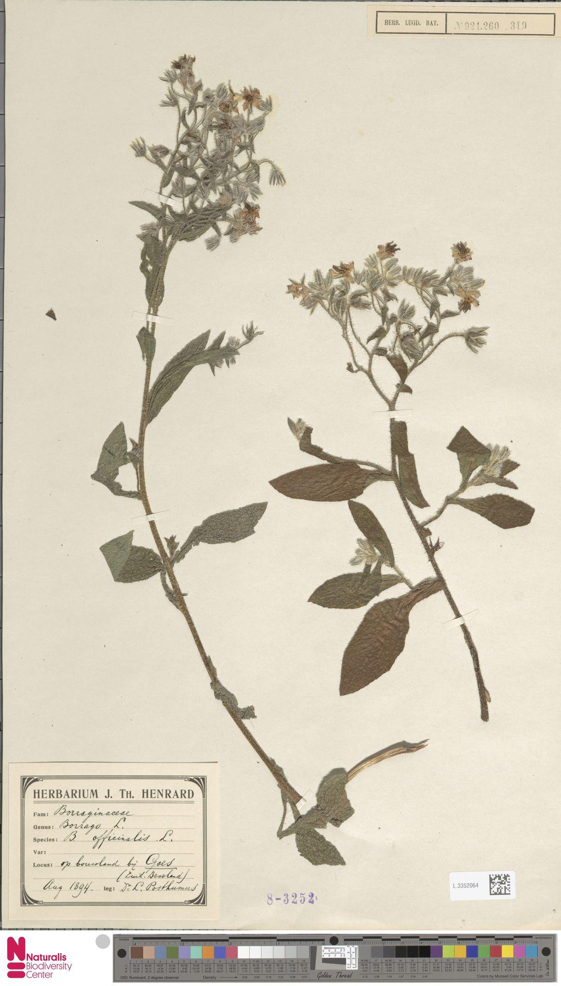 L.3352064 | Borago officinalis L.