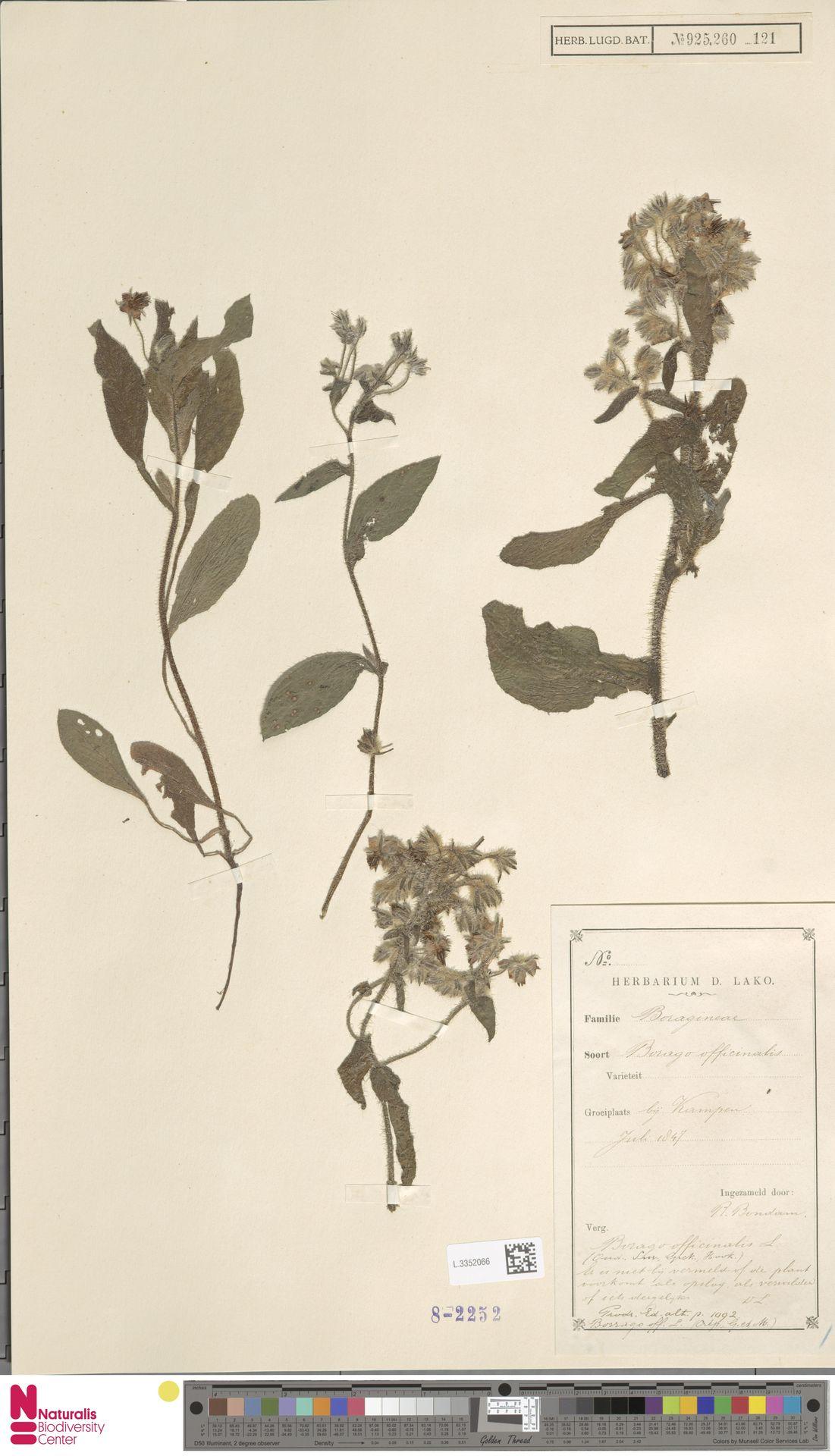 L.3352066 | Borago officinalis L.