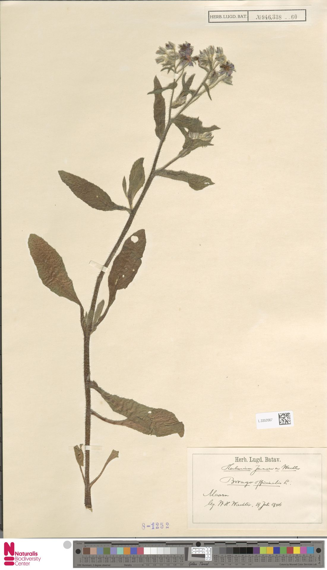 L.3352067   Borago officinalis L.
