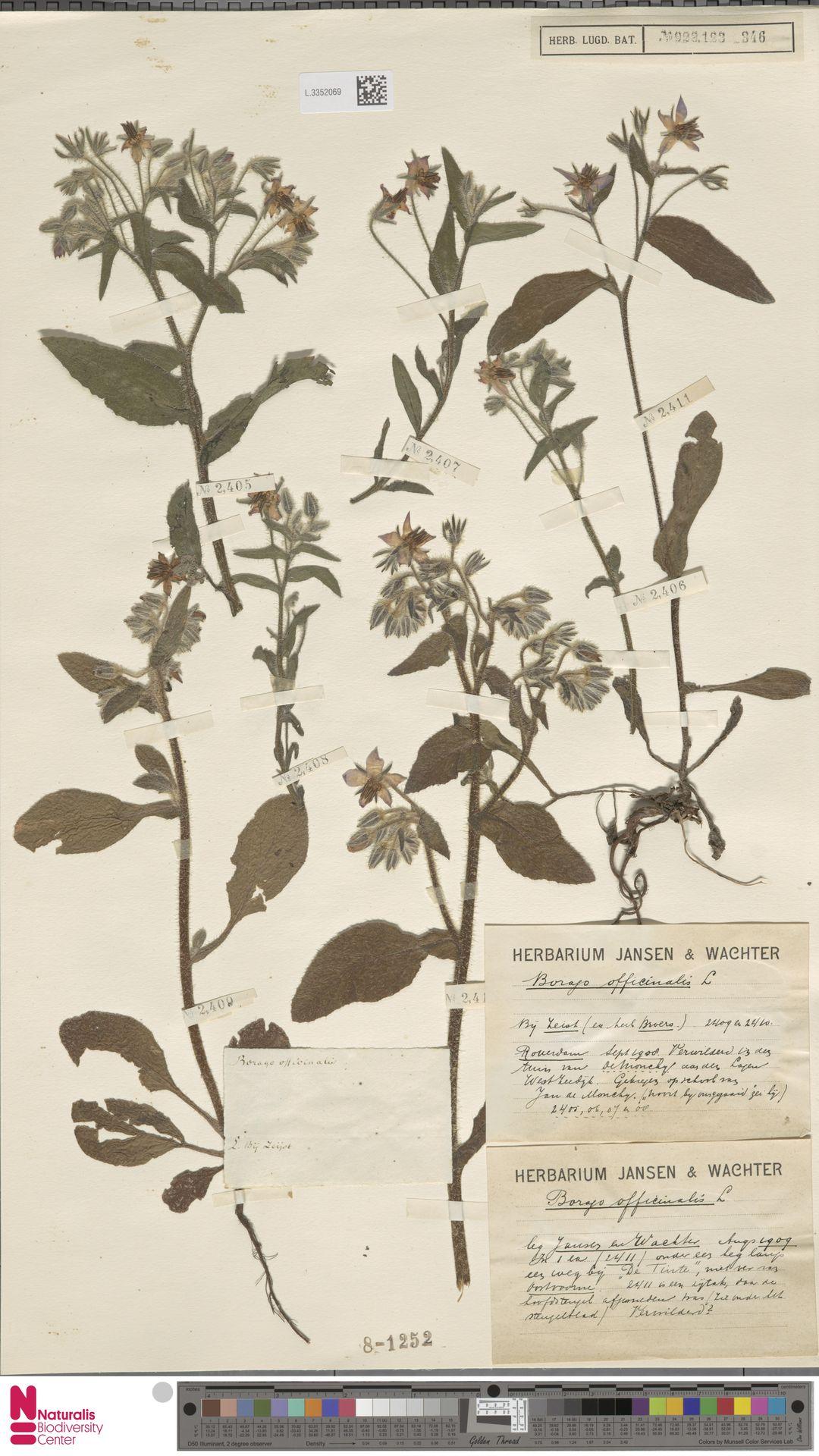 L.3352069 | Borago officinalis L.