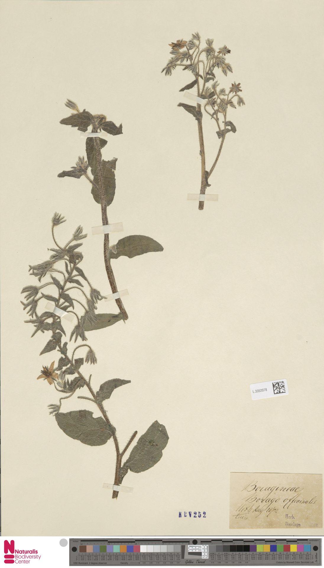 L.3352078 | Borago officinalis L.